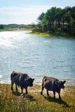 Galloway-Vieh an einem Strand stockfoto
