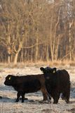 Galloways. In winterzon Nederland,  in winter sun Netherlands royalty free stock images