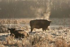 Galloways. In winterzon Nederland,  in winter sun Netherlands royalty free stock photos