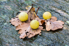 Galls of the insect Cynips quercusfolii on oak leaves Royalty Free Stock Photography