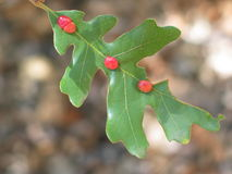 Galls On an Oak Leave Royalty Free Stock Image