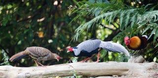 Gallus do Gallus/junglefowl vermelho Foto de Stock