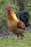 Gallus gallus Stock Images