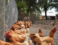 Gallus gallus domesticus, domestic chickens in a free range farm. Gallus gallus domesticus, domestic chickens are feeding together yet some go their own way in a royalty free stock photography