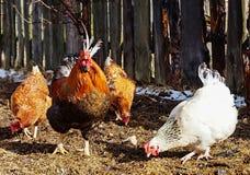 Galo bonito da cor com galinha Imagens de Stock