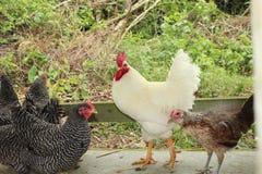 Galo branco com as galinhas barradas de Plymouth Rock fotos de stock royalty free