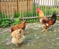 Galo brilhante e duas galinhas Foto de Stock