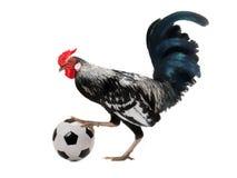 Galo com a bola do futebol isolada em um fundo branco imagem de stock