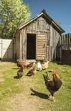 Galo com a galinha na erva verde Foto de Stock Royalty Free