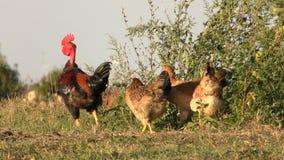 Galo com galinhas vídeos de arquivo