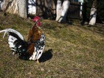 Galo decorativo com plumagem colorida brilhante na liberdade fotos de stock royalty free