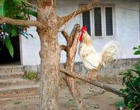 Galo doméstico branco com o pente vermelho que senta-se no ramo de uma árvore em uma vila indiana Imagens de Stock Royalty Free