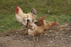 Galo e galinha Imagens de Stock Royalty Free