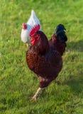 Galo e galinha Fotografia de Stock