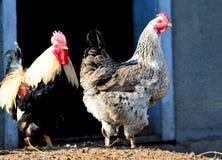 Galo e galinha em um barnyard Foto de Stock Royalty Free