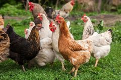 Galo e galinhas Fotos de Stock