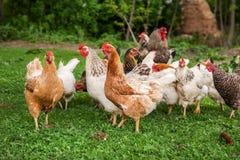 Galo e galinhas Imagens de Stock