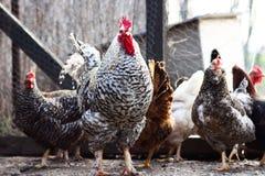 Galo e galinhas imagens de stock royalty free