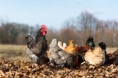 Galo e galinhas na exploração agrícola Imagens de Stock