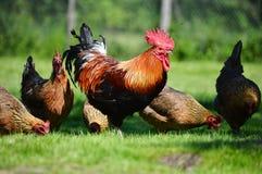 Galo e galinhas na exploração avícola ar livre tradicional Imagens de Stock