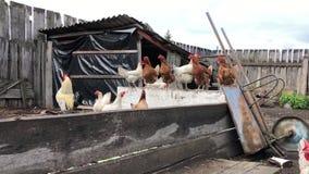Galo e galinhas que alimentam no pátio e na caminhada Explora??o agr?cola de galinha video estoque
