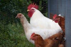 Galo e galinhas que saem da capoeira fotografia de stock