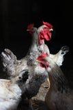 Galo entre galinhas Imagens de Stock