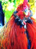 Galo Funky Imagem de Stock