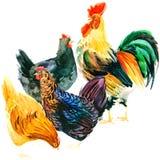 Galo galinha Aquarela da galinha ilustração do vetor