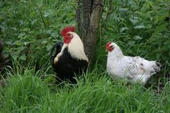 Galo novo e galinha na grama longa Fotografia de Stock