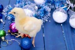 Galo novo, pintainho pequeno Animal, pássaro, aves domésticas Fotografia de Stock Royalty Free