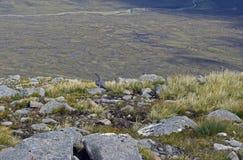 Galo silvestre das montanhas em seu inhabitat natural Fotos de Stock