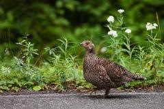 Galo silvestre que anda ao longo da estrada no Mt Rainier National Park fotos de stock