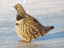 Galo silvestre Spruce Fotos de Stock Royalty Free