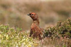 Galo silvestre vermelho (scotica do lagopus do Lagopus) Fotografia de Stock