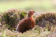 Galo silvestre vermelho (scotica do lagopus do Lagopus) Foto de Stock Royalty Free