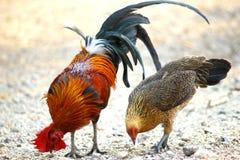 Galo Tailândia do galo de luta do campo da galinha da família dois Foto de Stock