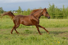 Galop Arabe rouge fier de cheval Photographie stock libre de droits