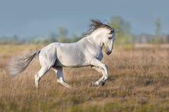 Galop blanc de course de cheval de lusitano photographie stock