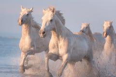 Galop de course de chevaux blancs dans l'eau au coucher du soleil, Camargue, le Bouches-du-Rhône, France images stock