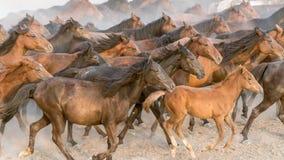 Galop de course de chevaux en poussière Image libre de droits