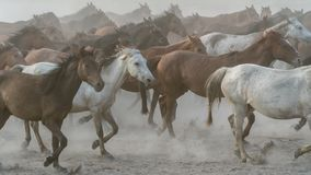 Galop de course de chevaux en poussière Photos libres de droits