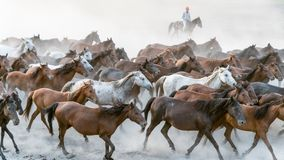 Galop de course de chevaux en poussière Photo stock