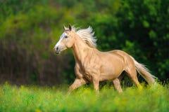 Galop de course de cheval de Cremelo photo stock