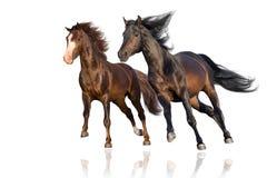 Galop de course de deux chevaux d'isolement images stock