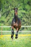 Galop de courses de cheval de baie sur le pré Image stock
