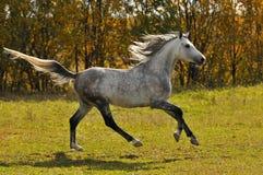 Galop de passage de cheval blanc sur le pré photos stock