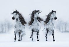 Galop espagnol long-maned gris de course de trois chevaux à travers le champ Photo stock