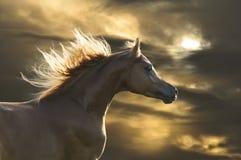 Galop rouge de passages de cheval dans le coucher du soleil Photo libre de droits