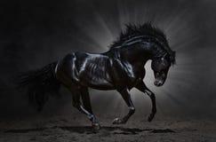 Galope andaluzes pretos do garanhão Fotos de Stock Royalty Free
